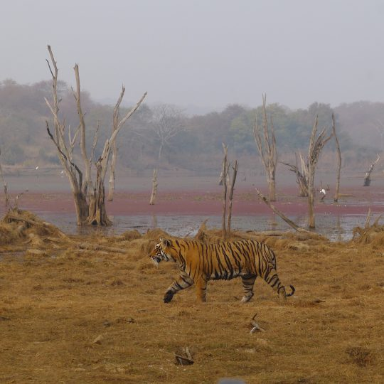 Tiger in Ranthambore National Park 2016. Photograph Ace Bourke.